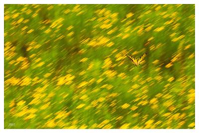 Butterfly in a field of Yellow Flowers July 23, 2013
