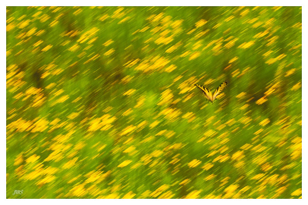 Butterfly in a field of Yellow Flowers July 23, 2013