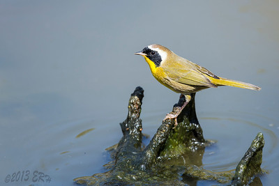 Common Yellowthroat perched above the gooey algae.