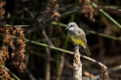 A Cassin's Kingbird stopped by for a visit.  There were at least six of these flying around the stick pond.