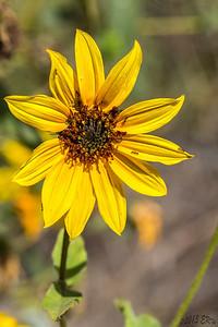 California Encelia (Encelia californica)