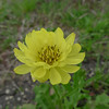 Texas Dandelion (Pyrrhopappus multicaulis).