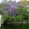 Japanese Wisteria (Wisteria japonica). Not native (in fact, it's an invasive in Texas), but spectacular in bloom nonetheless.