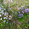 Blue-eyed grass (Sisyrinchium sp.).