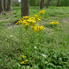 Groundsel (Senecio sp.).