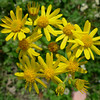 Groundsel (Senecio sp.)