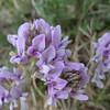 Locoweed (Astragalus sp.)