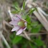 Ten-petal Anemone (Anemone heterophylla), pink form.