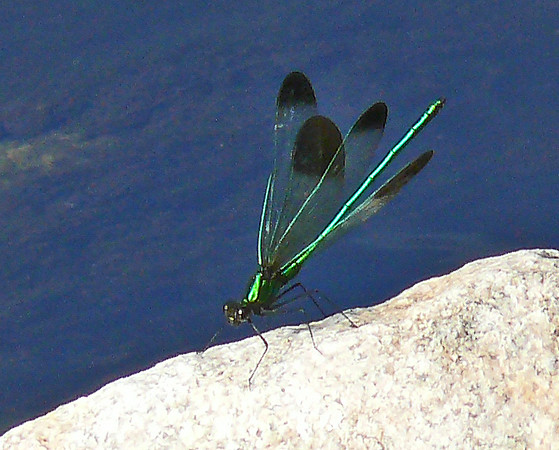 River Jewelwing (male)