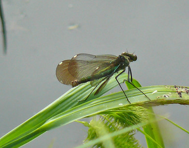 River Jewelwing (female)