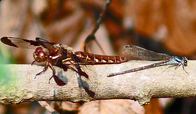 Common Whitetail Dragonfly and Blue-tipped Dancer