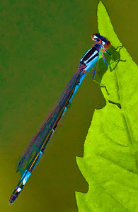 Azure Bluet  07 24 09  006 - Edit CS4 - Edit