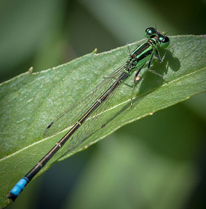 Eastern Forktail male  07 15 09  006