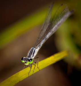 Eastern Forktail female  08 12 09  001 - Edit