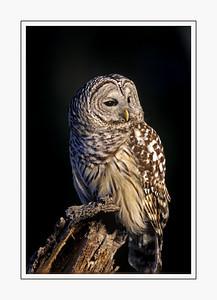 birds_BARREDOWL