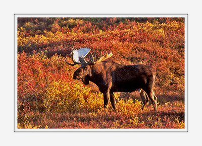 mammals_Moose-14