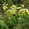 Cowslips. I got this shot in a ditch.