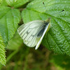 Small White Butterfly. I was lucky enough to get close to it.