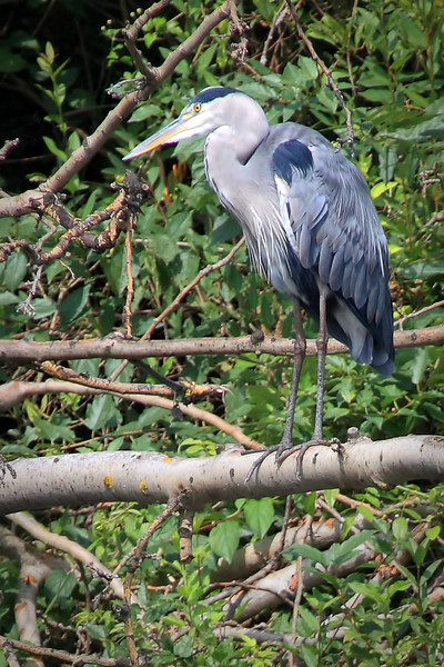 """Grey Heron """"I'm just part of the tree - you can't see me"""".  Scanning the pond below for lunch in the Lower Lobau section of the national park."""