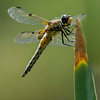 Four-Spotted Darner