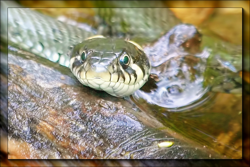 Grass snake (Natrix natrix) coming up from the water