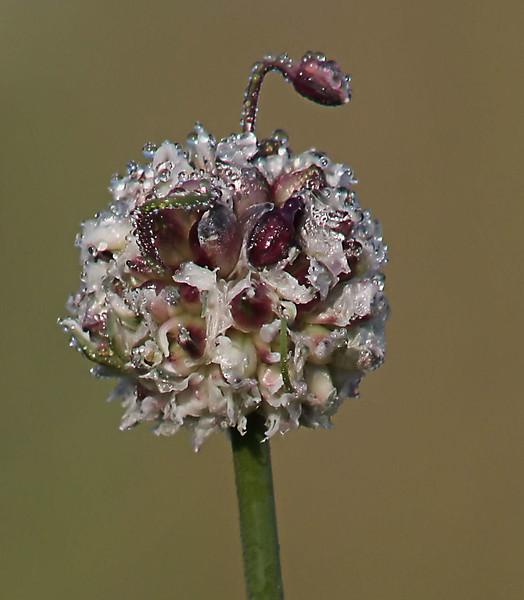 Wild Garlic found in the Lobau along the Danube