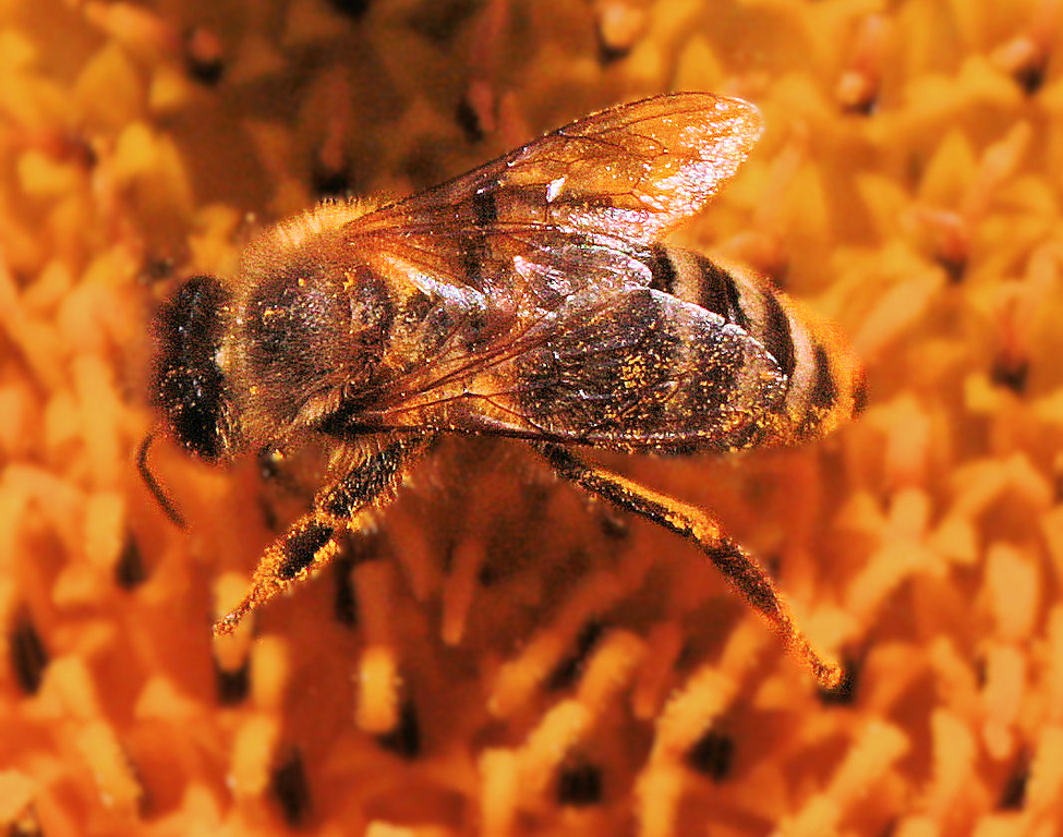 Honey Bee on a sunflower