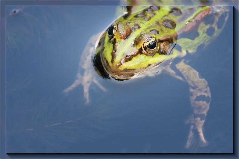 Classic Water Frog Rana esculenta