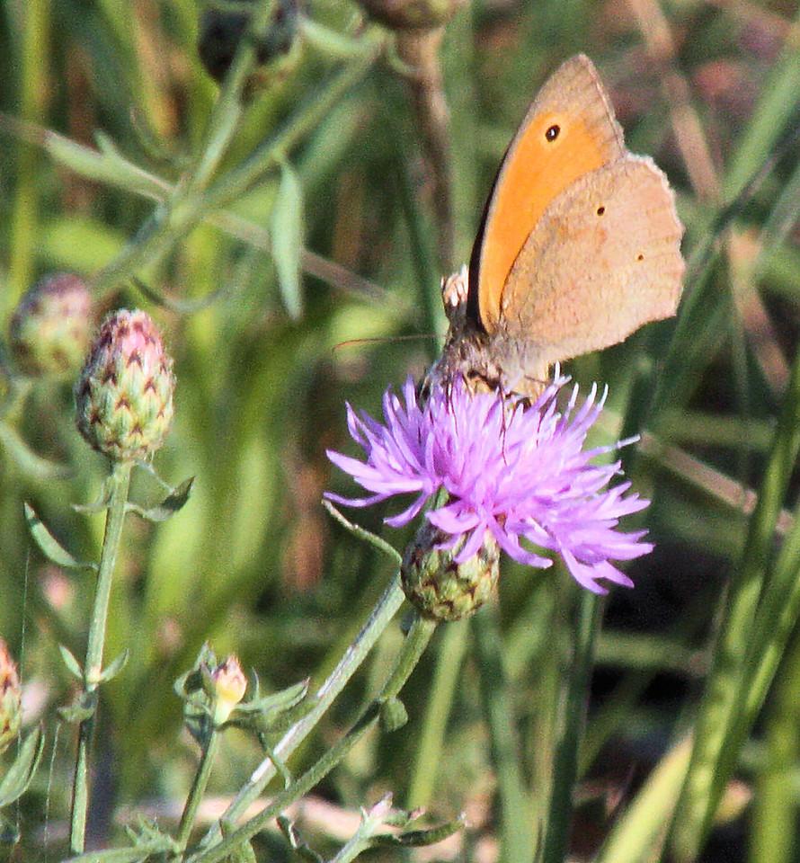 Little Thorn common moth