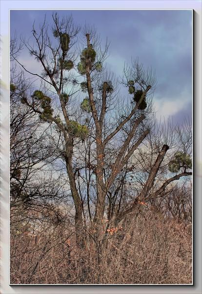Winter Green Misteltoe in December