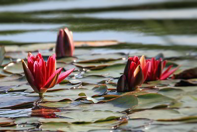 Afternoon lilies 2011-08-20   A shot of the pond where yesterday's dragonfly was cruising.  This shot is almost SOOC, except I couldn't get my eye to rest on the left-hand lily, so I darkened the right side a bit.  I hope you like it. And many thanks for yesterday's comments.  The dragonfly did disappear from the dailies for a bit, but it came back.