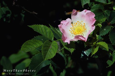 Wild Rose 2013-05-22  Our formal roses haven't blossomed yet,but the wild roses are out.  Here a spot of sunshine hit one along a path along the shore of the Danube.  (I waited for the sun).