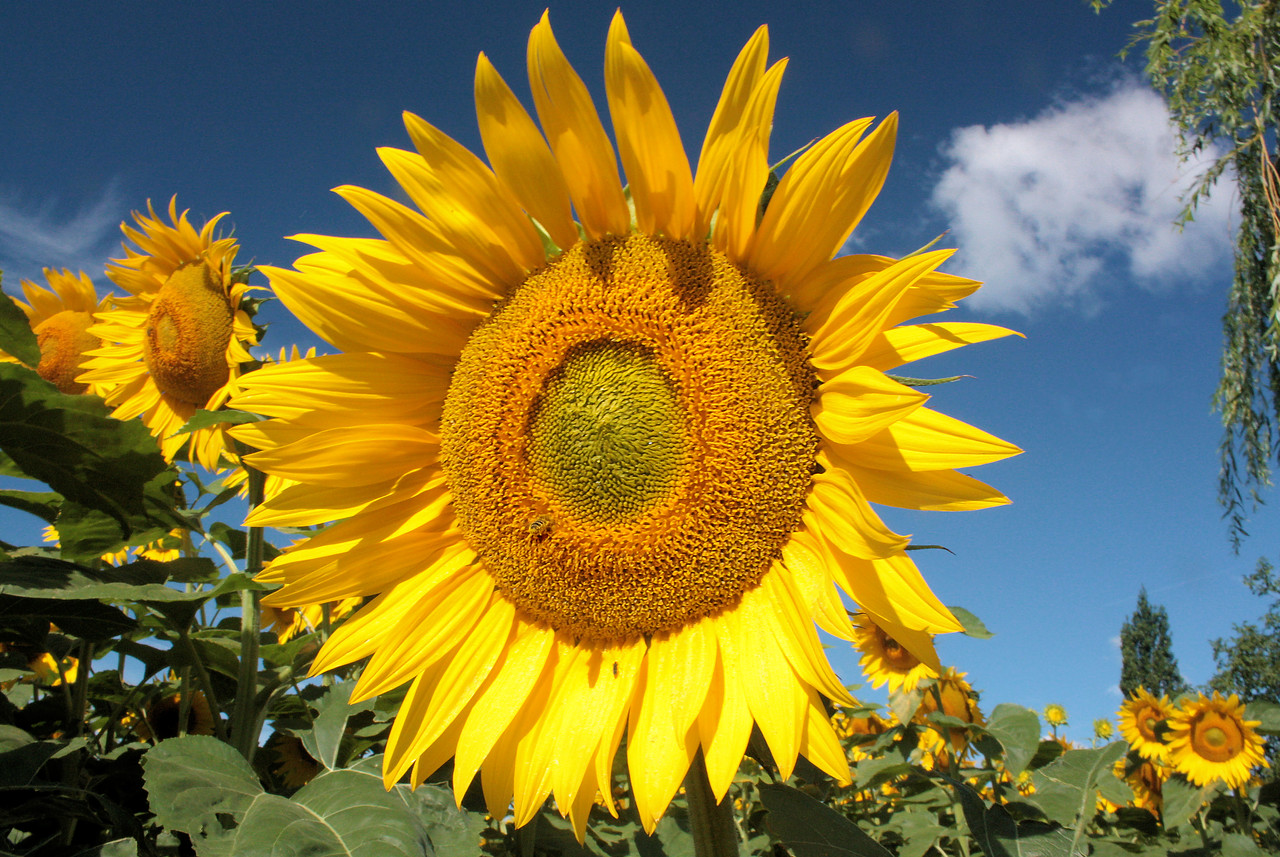Sunflowers cultivated around the edge of the part