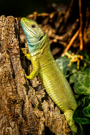 Emerald  lizard, posing