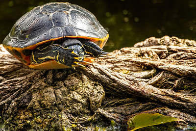 Florida yellow-belly turtle