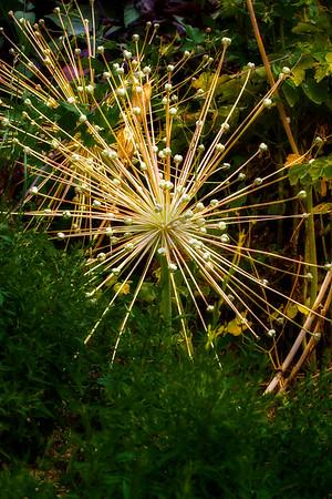 Some kind of super Allium, perhaps