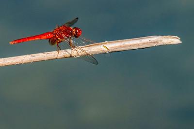 Scarlet Dragonfly - Feuerlibelle