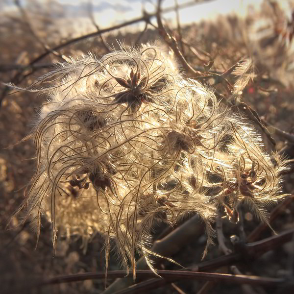 Curves 2010-11-25  Another shot from the National Park - the seed head of a weed, waiting to be frozen and blown away.  Brown is the standard color now.    Thank you for the comments on my landscape shot from the park.  I'm busy getting ready to exhibit (and hopefully sell) my prints and greeting cards at various small advent markets around Vienna.  Matted and packaged forty prints yesterday.  Today my wife and I fetch the cards from storage and package them.
