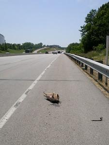 Nine-banded Armadillo, along I-64 / U.S. 40 / U.S. 61 in St. Louis County, Missouri.