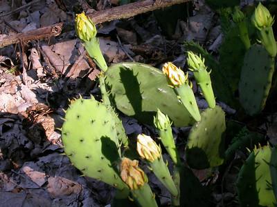 Prickly Pear Cactus, Darst Bottom.