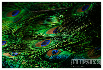 Peacock Feathers
