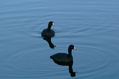 American Coots, reflections, and ripples
