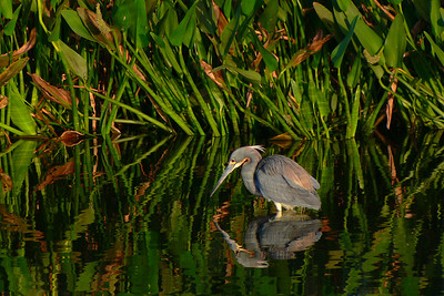 Tricolored Heron in morning glow