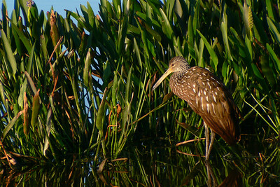 Limpkin in the morning glow