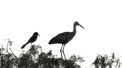 Boat-tailed Grackle, Limpkin silhouettes