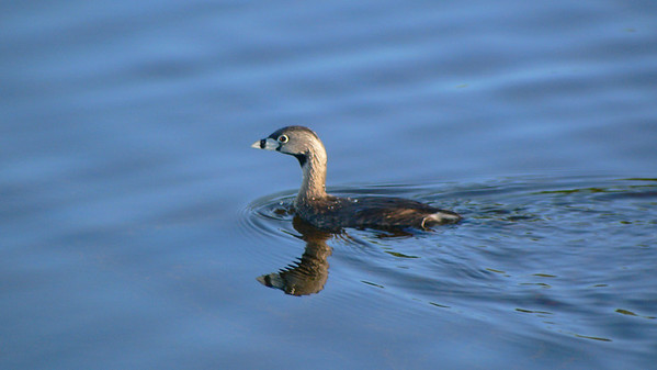 Pied-billed Grebe on a mission