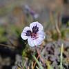 Erodium cheilanthifolium