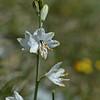 Lysimachia ephemerum