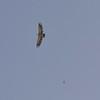 Griffon Vulture and Kestrel
