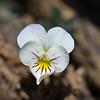 Viola crassiscula
